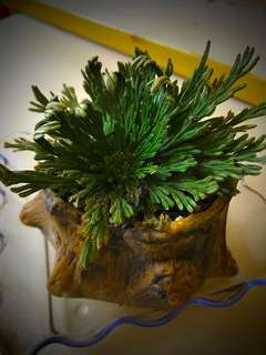 Resurrection Plant (Flower of Stone)