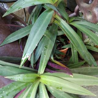 Trandescantia spathacea (large), with pot