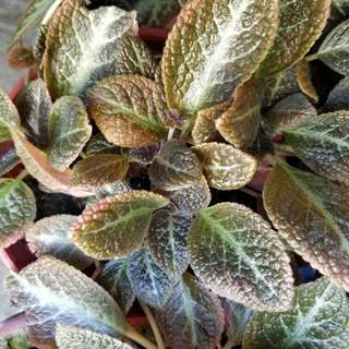 Episcia sungold (with pot)