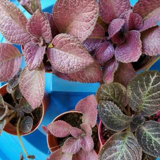 Episcia strawberry mist and kee wee