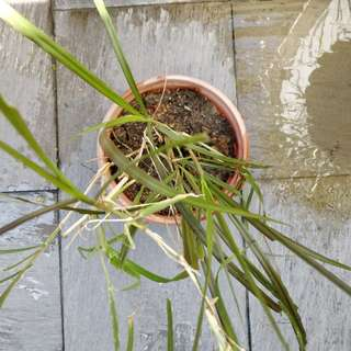 Red fountain grass (M)
