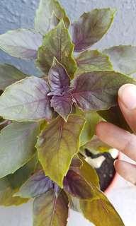 potted plant . sweet basil dark opal