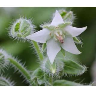 White Star Borage Seeds (Non GMO)