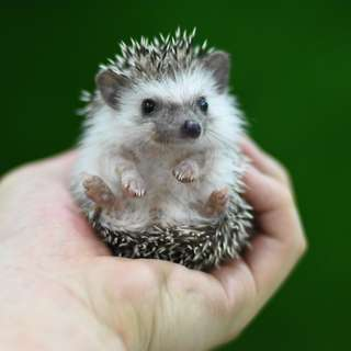 2-months-old home-breed hedgehogs