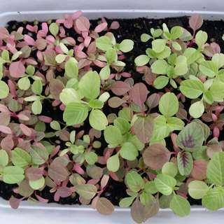 Tri-Colour Amaranth Vegetable Seeds