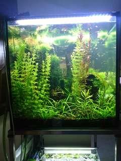Aquatic plant - Eriocaulon sp'vietnam'