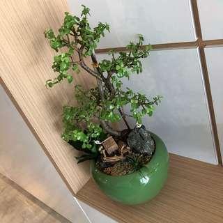 Exclusive Bonsai
