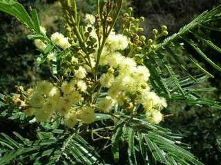 Gardening ♡ Exotic Acacia Mearnsii Seeds X 20