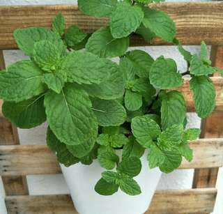Potted Mint for Sale
