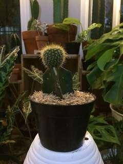 Tanaman hias kaktus