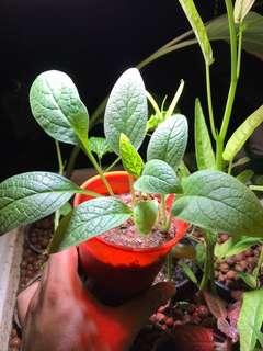 True Comfrey Plant, Symphytum officinale