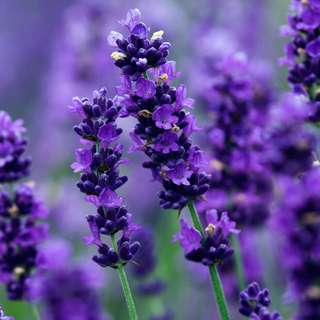 Gardening ♡ Lavender Seeds Pack (50 to 80 Seeds)