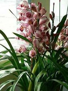 Gardening ♡ Cymbidium Seeds 大花蕙兰种子 X 25