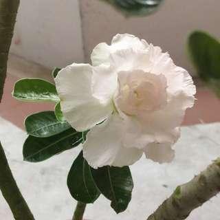 Adenium/desert Rose (white)