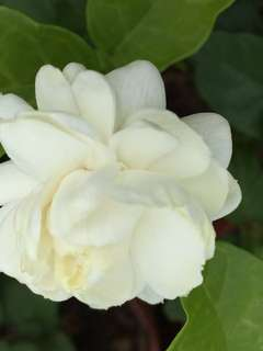 Grand Duke Of Tuscany Jasmine