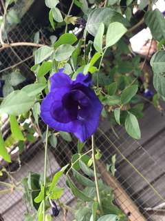 Dried Butterfly Pea - 50g
