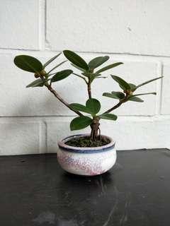 Mini bonsai ficus elastica