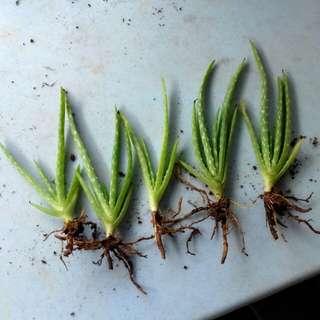 Baby Aloe Vera Plant (5 RM 10)