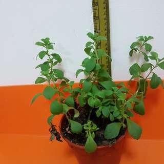 Stevia plant (herb sugar)