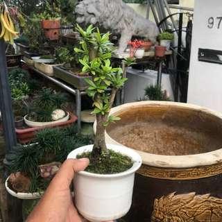 仙丹花 bonsai