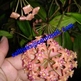 Hoya with blooms