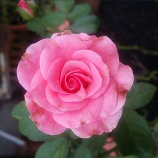 GARDENING - Pink Rose Seeds For Sale