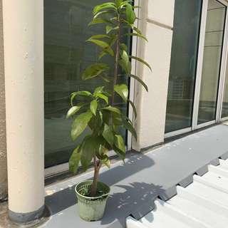 Sapodilla (sapota) tree in small pot