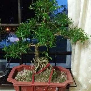 盆景elm