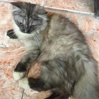 Di Jual Kucing Persia