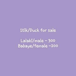 For sale Duck/Itik