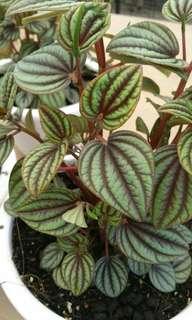 Plants。Peperomia