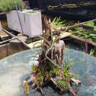 Airplants on wood
