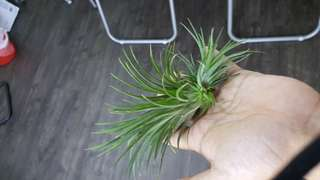 Airplant (many pups)
