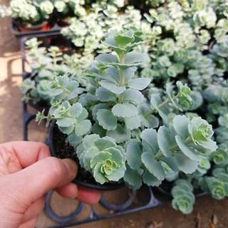 😍RARE SUCCULENTS: X111 - Trailing Cabbage (FIRST COME FIRST SERVE! VERY LIMITED STOCKS!)😱