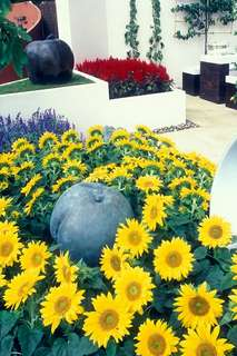 Gardening ♡ Dwarf Sunflower Seeds X 10