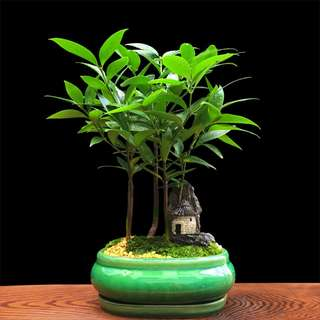 Bonsai Collection: Lovely Green