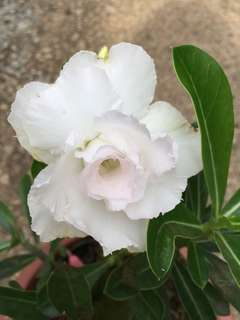 Adenium/desert Rose (white)