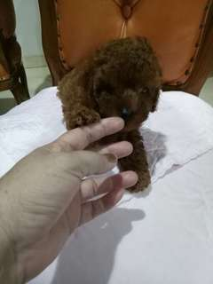 Anak Red Toy Poodle