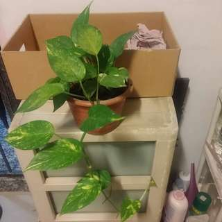 Many money plants for sale (Set C)