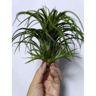 Airplant Victoria Giant - A hybrid