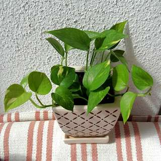 Potted Money Plant