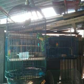Burung Lovebird (Hijau Standard Fischeri)
