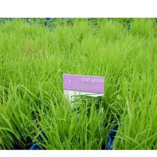 Cat Grass/ Orchard Grass Seed (Organic)