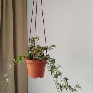 Hanging ivy
