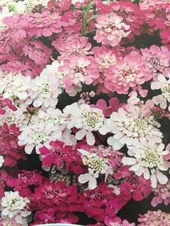 Candytuft Fairy Mixed Flower Seeds