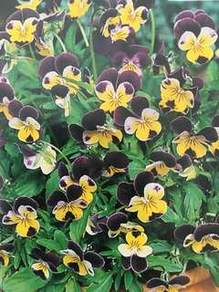Heartsease Johnny Jump Up Flower Seeds
