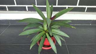 Tradescantia spathacea, Moses in the cradle plant, Rhoeo plant, Oyster plant, Boat lily