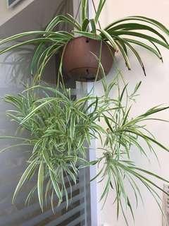 Baby spider plant (spiderette)