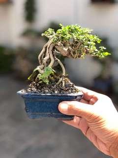Taiwanese Premna bonsai 寿娘子