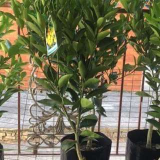 Calamansi, Cumquat, Calamondin Tree with Fruits 1 meter in height